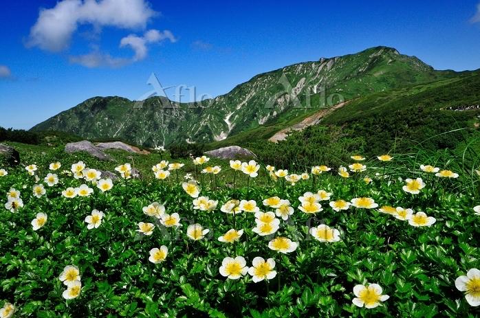 富山県 立山町 奥大日岳とチングルマ 室堂~天狗平間の登山道・・・