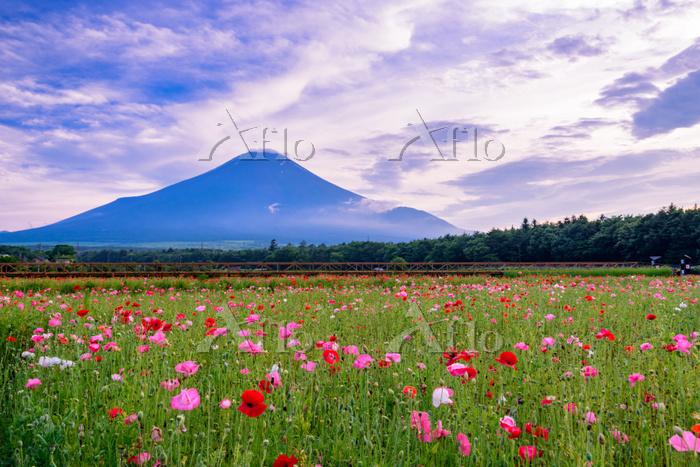 山梨県 花の都公園 コスモスと富士山