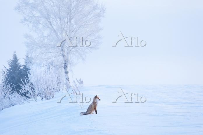 北海道 雪原に座るキタキツネ