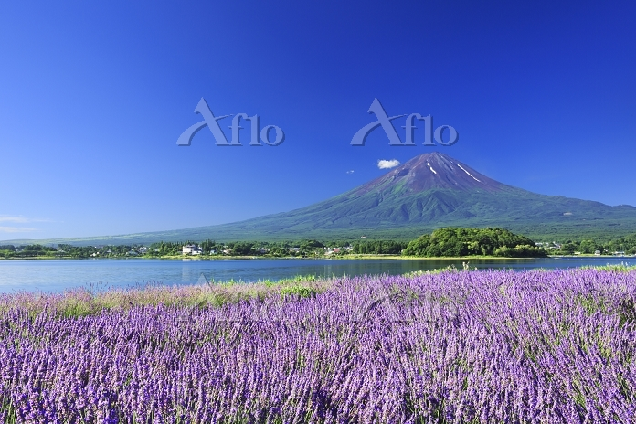 山梨県 河口湖畔 大石公園 富士山とラベンダー