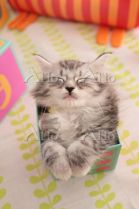 ノルウェージャンフォレストキャットの子猫