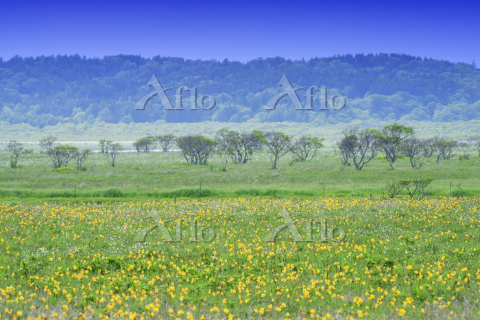 北海道 霧多布岬湿原とエゾカンゾウの花