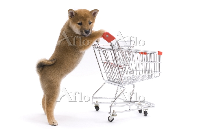 買い物かごを押しながら柴犬 横