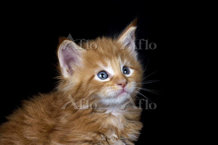 Ginger Maine Coon kitten in fr・・・