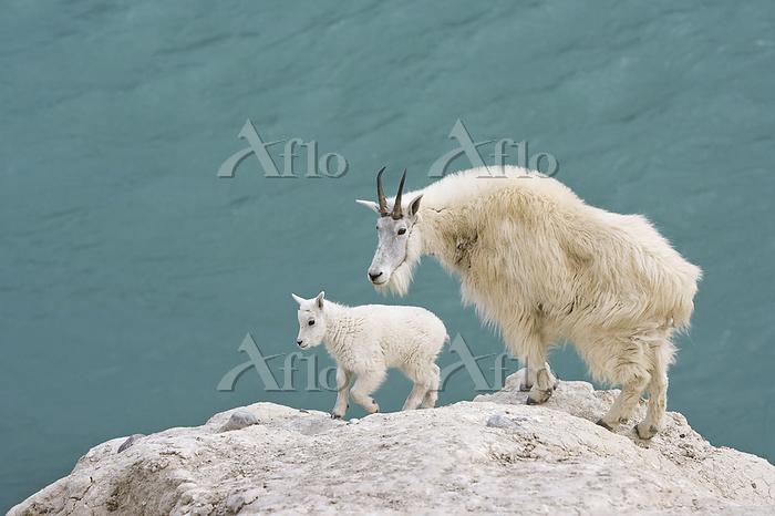 Mountain goat (Oreamnos americ・・・