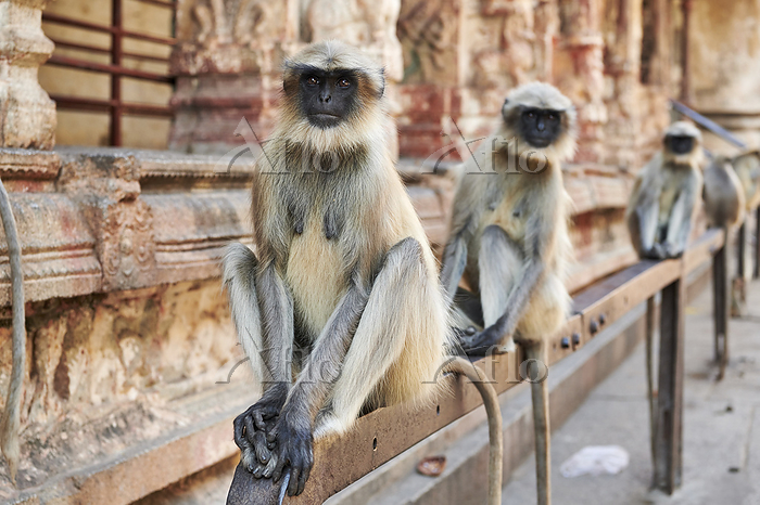 Tufted Gray Langurs (Semnopith・・・