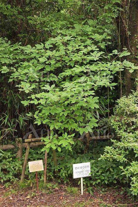 兵庫県 黒田官兵衛ゆかりの目薬の木