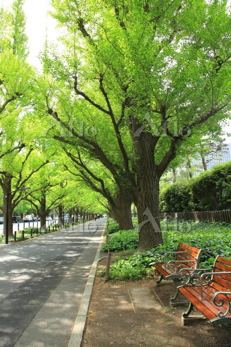 東京都外苑イチョウ並木