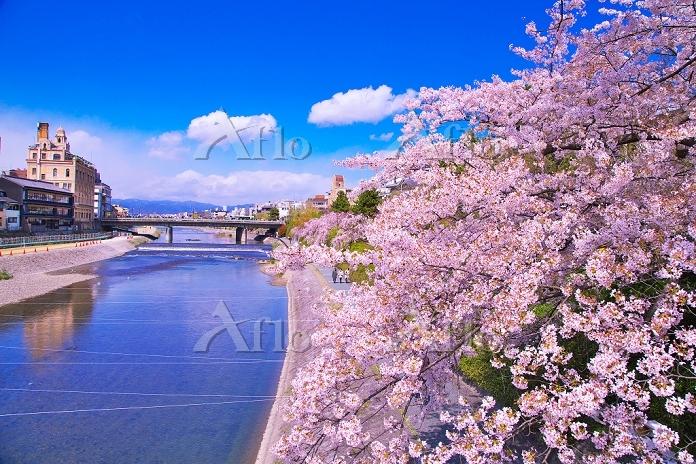 京都府 鴨川と桜 団栗橋より四条大橋
