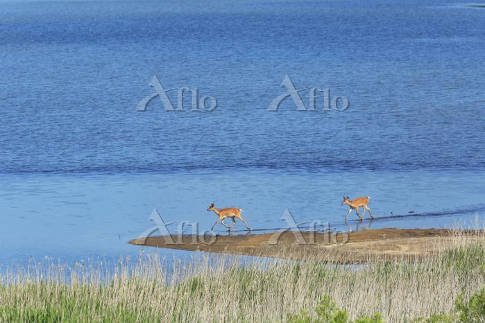 北海道 湖面に集うエゾ鹿