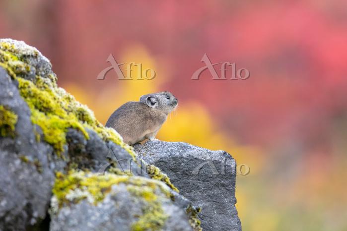 エゾナキウサギ秋の中