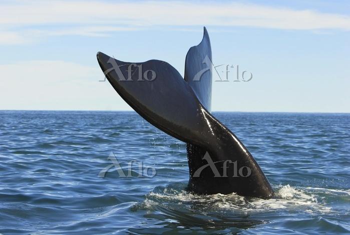 Fluke, Southern right whale (E・・・
