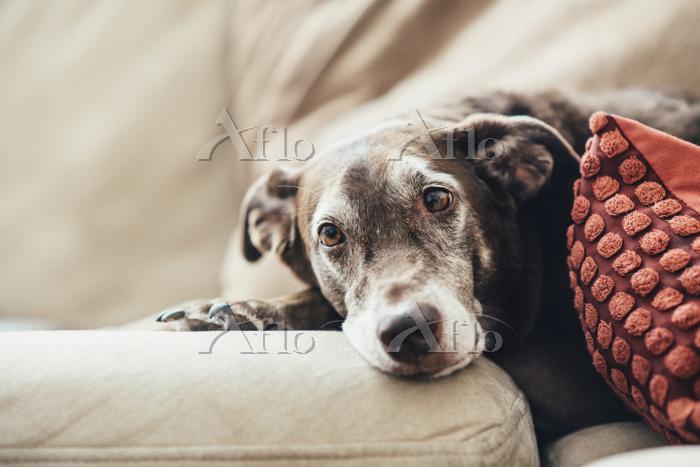 ソファーに寝そべる犬