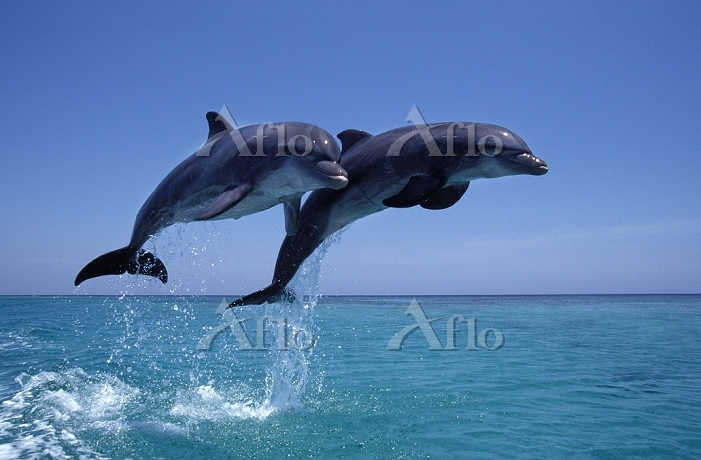 二匹のハンドウイルカ