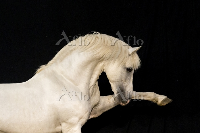 Pure Spanish Horse, Andalusian・・・