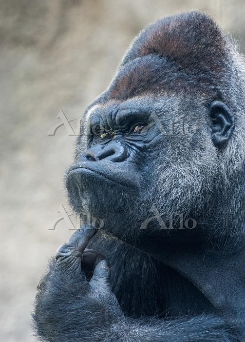 Facial expression of a gorilla
