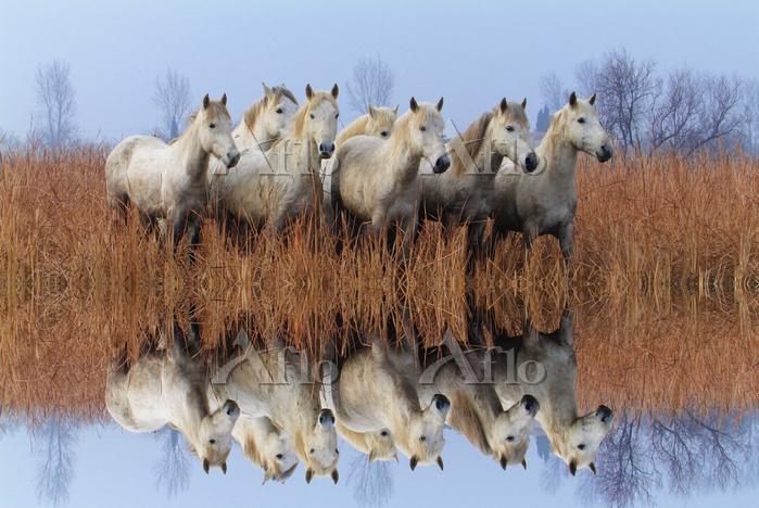 白馬の群れ