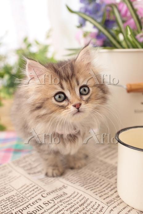 ペルシャ(チンチラゴールド)の子猫
