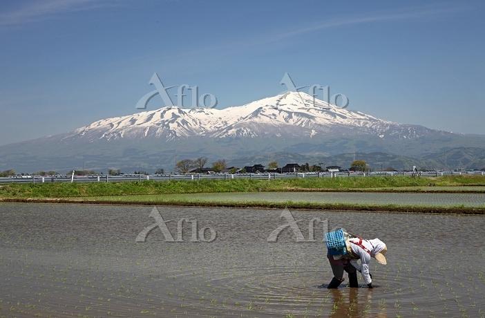 鳥海山の雪形(種まき爺さん)をバックにイネの補植え 2014・・・