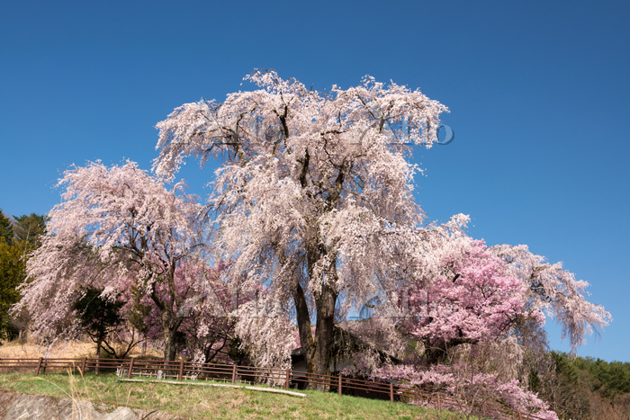 長野県 勝間薬師堂のしだれ桜