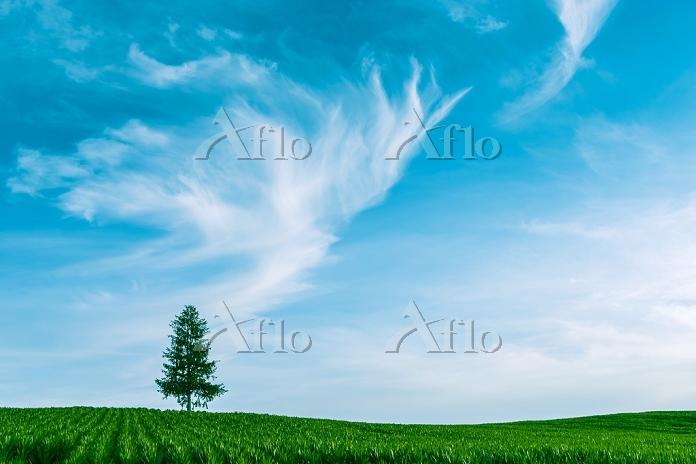 北海道 美瑛町 湧き上がる夕暮れ雲と一本の木