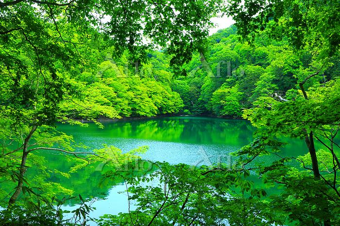 青森県 深浦町 白神山地の十二湖・鶏頭場の池と新緑