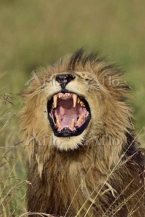 A male lion roars, showing his・・・