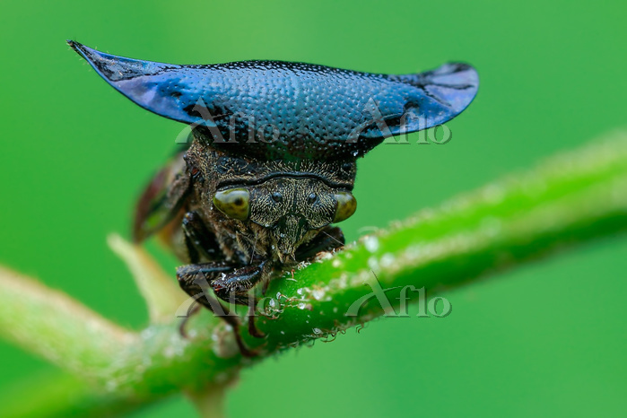 Horned treehopper (Centrotypus・・・