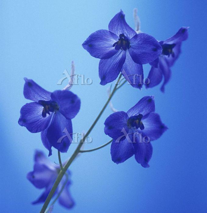 学名:Delphinium 'Blue Bees' Delp・・・
