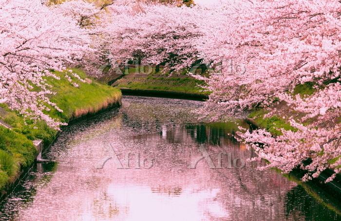 千葉県 桜咲く春の海老川
