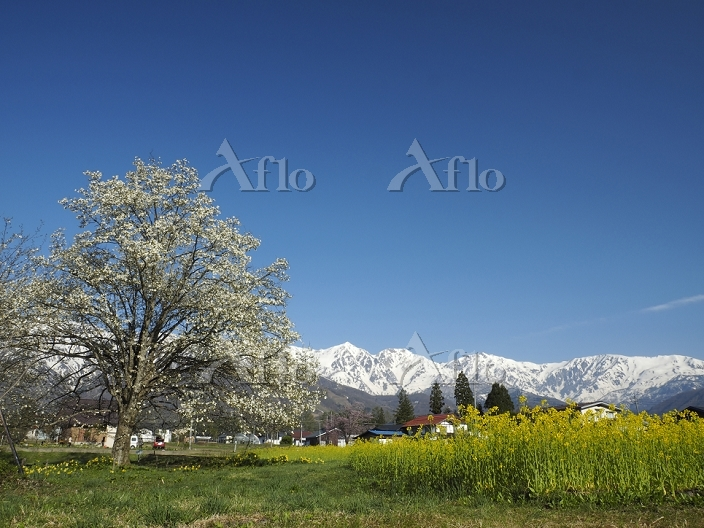 長野県 白馬村 四十九院のコブシの花と白馬連峰