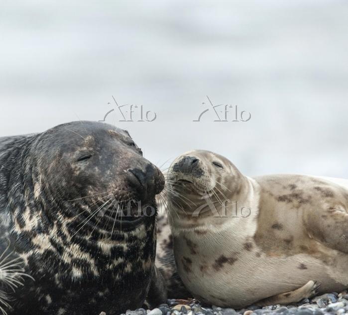 Adolescent grey seals (Halicho・・・