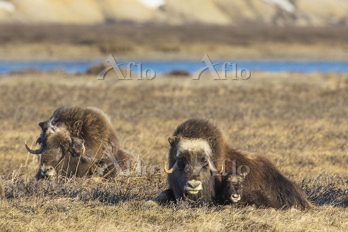 Muskox Cow And Calf Of The Yea・・・