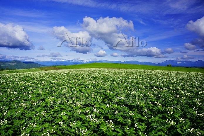 北海道 ジャガイモ畑 十勝連峰 美瑛の丘