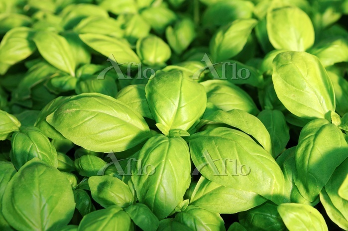 Traditional Ligurian basil gro・・・