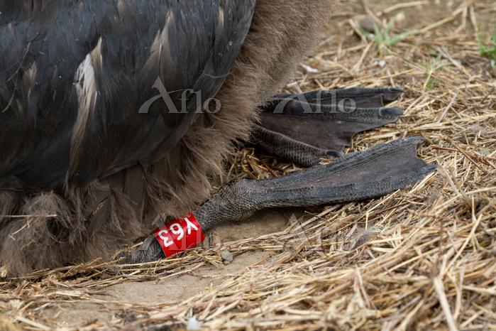 聟島 アホウドリのヒナの足(生後4ヶ月)