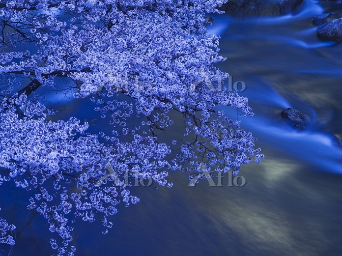 福島県 摺上川の桜