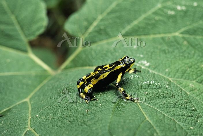 学名:Atelopus varius Harlequin T・・・