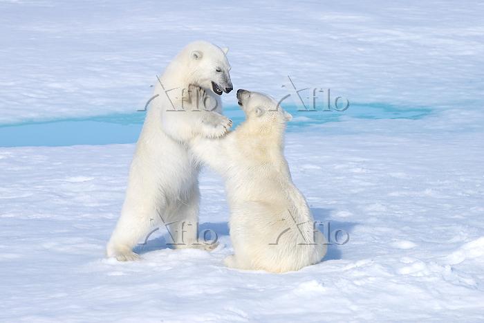 Two-year old polar bear cubs (・・・