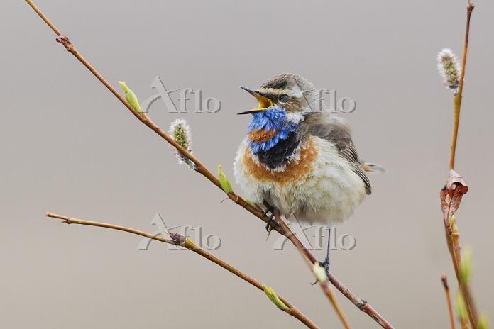 Bluethroat Singing, Photo by K・・・