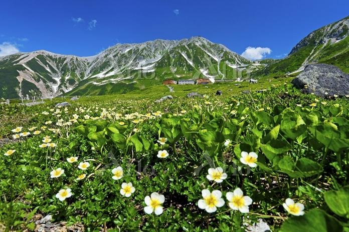 富山県 立山黒部アルペンルート 室堂平 チングルマ 雄山