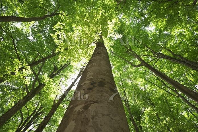 美人林のブナ