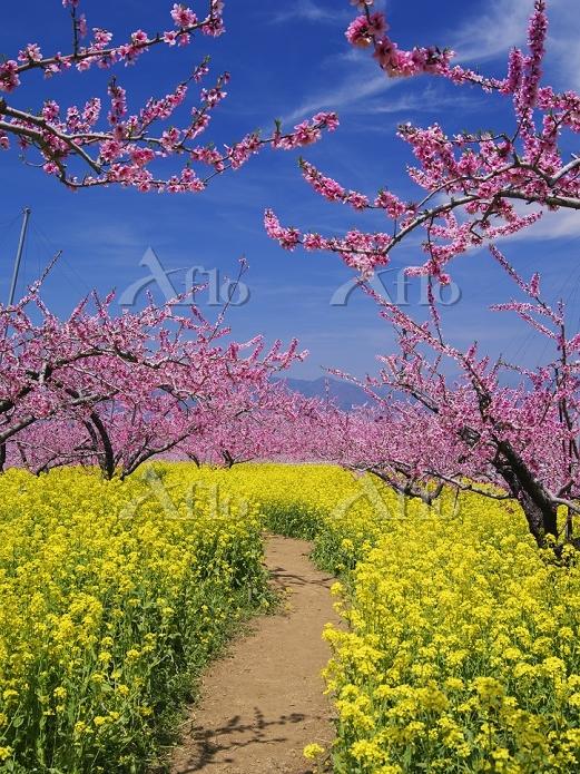山梨県 菜の花とモモの花