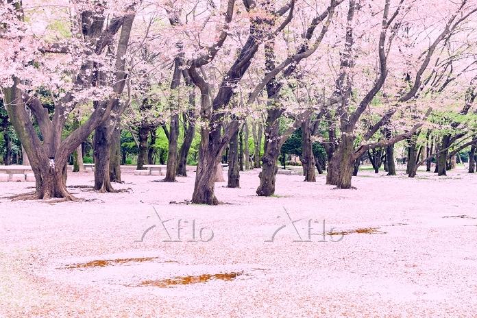 春 桜の花びらの絨毯