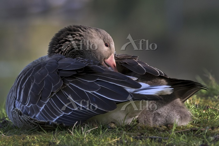 Greylag Goose (Anser anser) wi・・・