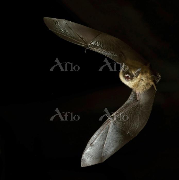 Geoffroy's bat (Myotis emargin・・・