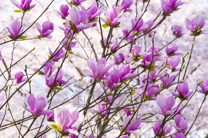 東京都 千鳥ヶ淵の紫モクレン