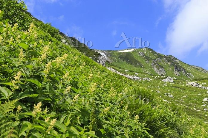 岐阜県 北アルプス双六小屋から三俣小屋への登山道付近に咲くコ・・・