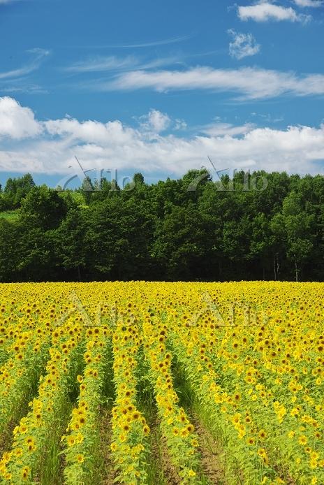 北海道 ヒマワリ畑と雲