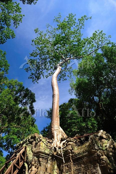 アンコールワット遺跡に根をはる木